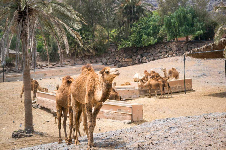 Cammelli oasis park fuerteventura