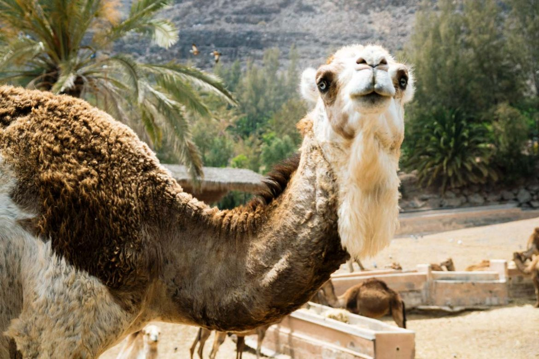 Cammelli all'oasis Park Fuerteventura
