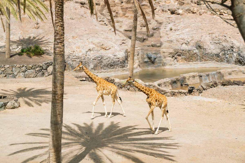 Giraffe all'oasis park Fuerteventura