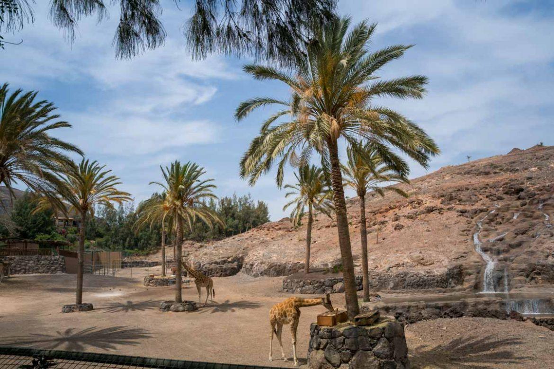 giraffe nella savana dell'oasis Park