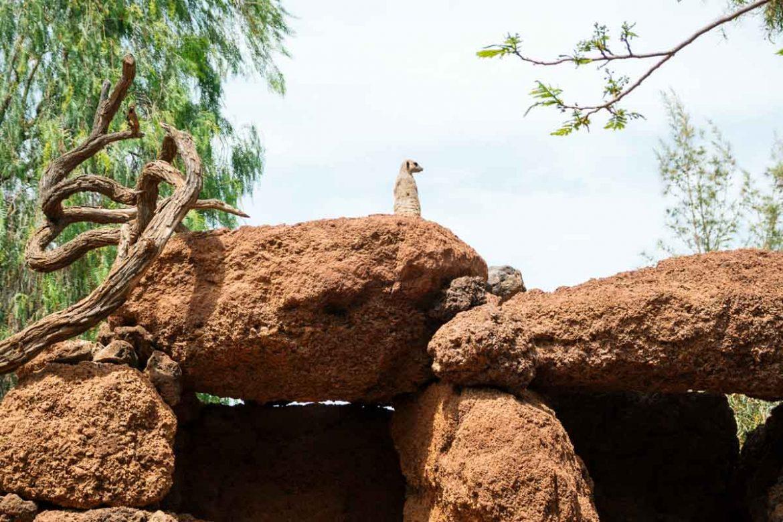 Suricati all'Oasis Park Fuerteventura