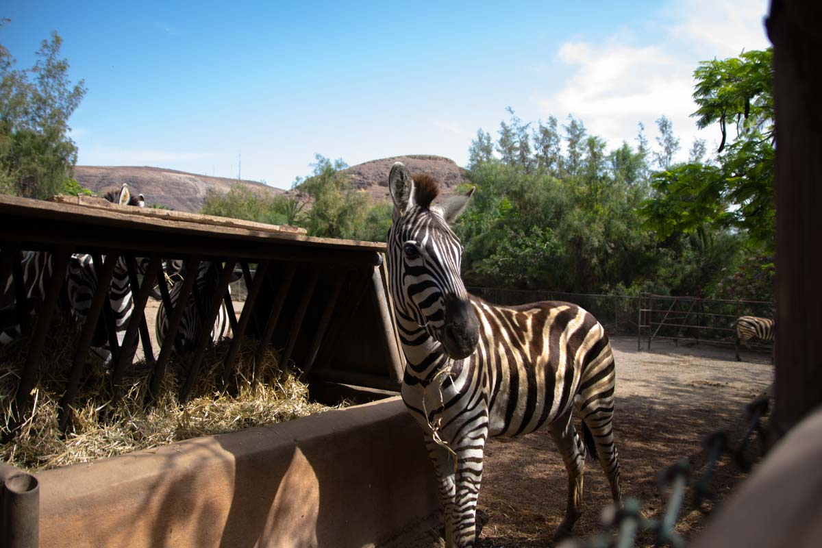 Zebra all'Oasis Park Fuerteventura