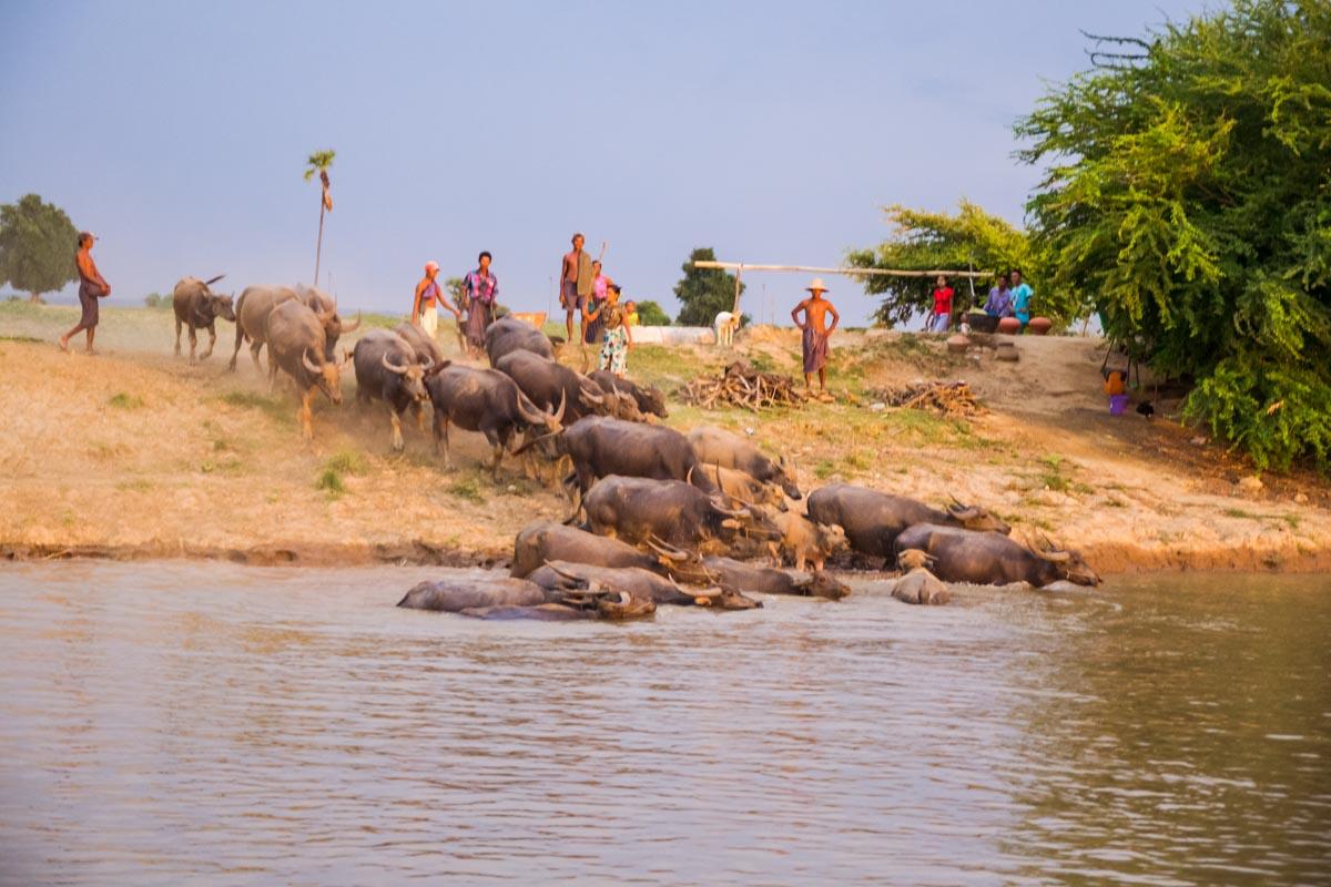 Fiume Irrawaddy bufali